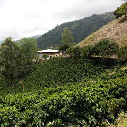 Colombian Santa Barbara