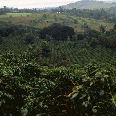 Tanzanian Mondul Estate Peaberry