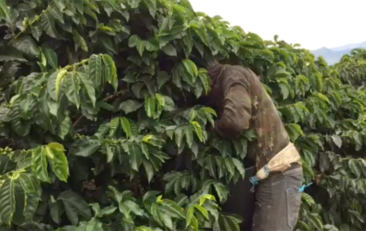 What Does Coffee Harvesting Look Like?