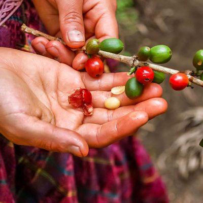 Guatemala Finca La Bella